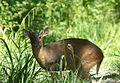 Reeve's Muntjac. Muntiacus reevesi - Flickr - gailhampshire (3).jpg