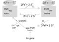Regulation of FNR by Oxygen.png