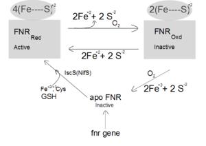 FNR regulon - Regulation of FNR by Oxygen