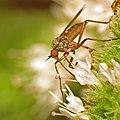 Rhamphomyia variabilis (female) (9743193772).jpg