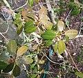 Rhododendorn sulfureum x flavidum.jpg