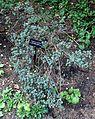 Rhododendron impeditum - VanDusen Botanical Garden - Vancouver, BC - DSC06799.jpg