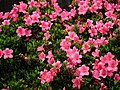 Rhododendron pulchrum 杜鵑 azaleas - panoramio.jpg