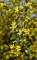 Ribes aureum 1.jpg