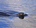 River Otter Horicon Marsh Wisconsin (29641701).jpeg