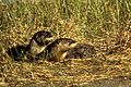 River otters in grass near waater.jpg