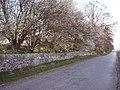 Roadside Blossom - geograph.org.uk - 408396.jpg