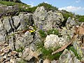Rock vegetation in the Pyrenees.jpg