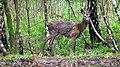 Roe deer, male 01(js).jpg
