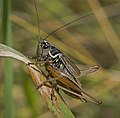 Roesel's Bush-cricket, Metrioptera roeselii (20009572688).jpg