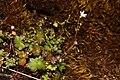 Romanzoffia californica 4866.JPG