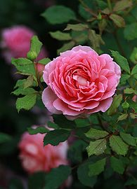 Rosa-'Jubilee-Celebration'.jpg