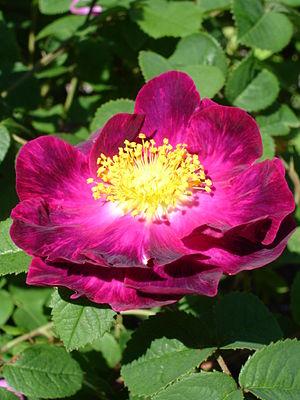 Rosa gallica - Image: Rosa Gallica Alain Blanchard 1UME