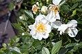 Rosa Blossom Blanket 1zz.jpg