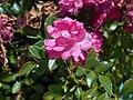 Rosa Lovely Fairy 2018-07-15 6145.jpg