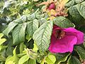 Rosa Rugosa with bee 1828.jpg