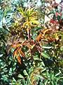 Rosa pimpinellifolia Sproud 2009-5-17 DehesaBoyaldePuertollano.jpg