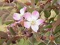 Rosa rubrifolia1.jpg