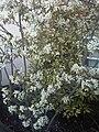 Rosales - Amelanchier lamarckii - kew 2.jpg