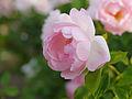 Rose, Peach Blossom, バラ, ピーチ ブロッサム, (15571242867).jpg