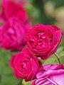 Rose, Violet Queen, バラ, ヴァイオレット クィーン, (15336420023).jpg