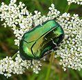 Rose Chafer. Cetonia aurata. Cetoniinae. Scarabaeidae - Flickr - gailhampshire.jpg