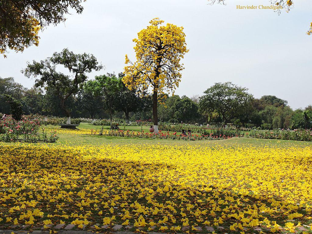 Filerose Garden Chandigarh Utjpg Wikimedia Commons