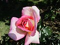 Rose Parfum de Nantes.jpg