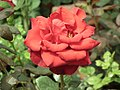Rose from Lalbagh flower show Aug 2013 8566.JPG