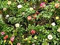 Rose tree with roses in Bangladesh 1.jpg