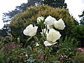 Roses au jardin du thabor a rennes - panoramio.jpg