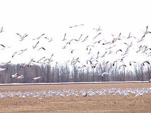 Ross's goose - Ross's goose colony in Missisquoi National Wildlife Refuge