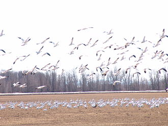 Missisquoi National Wildlife Refuge - Ross's goose colony in Missisquoi National Wildlife Refuge