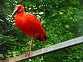 Roter Ibis.JPG