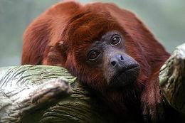 Vörös bőgőmajom a frankfurti állatkertben