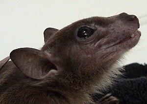 Egyptian fruit bat - Egyptian fruit bat