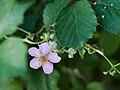 RubusUlmifolius-Zarzamora 6130039.jpg