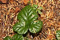Rubus nivalis 0475.JPG