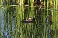 Ruddy Duck and ducklings (5711995996).jpg