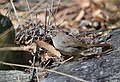 Rufous-crowned Sparrow (33175813524).jpg