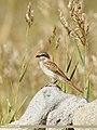 Rufous-tailed Shrike (Lanius isabellinus) (40921430863).jpg