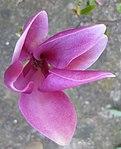 Ruhland, Grenzstr. 3, Purpur-Magnolie vor dem Haus, Blüte, Frühling, 01.jpg