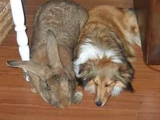 Flemish Giant rabbit - A sandy Flemish male napping next to a sable and white sheltie