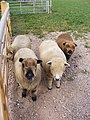 Ryeland Sheep in Reepham Road - geograph.org.uk - 1521309.jpg