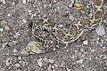 SNAKE, GOPHER (pituophis catenifer) (8-11-11) patagonia cemetary, scc, az -02 (6033310560).jpg