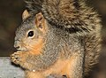 SQUIRREL, EASTERN FOX (Sciurus niger) (3-7-12) santa anna national wildlife refuge, near mc allen, tx -01 (6991596633).jpg