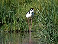 STILT, BLACK-NECKED -1 (560879659).jpg