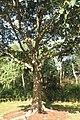 SZ 深圳 Shenzhen 福田 Futian 蓮花山 Lianhuashan Park Dec-2017 IX1 習近平種的樹 The tree planted by Xi Jinping 03.jpg