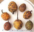 Saba senegalensis - fruits.jpg