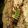 Saddleback Caterpillar (37067603940).jpg